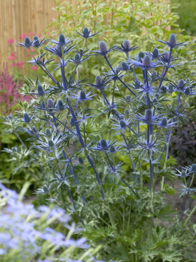 Eryngium Big-Blue