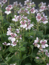 Erodium Sweetheart