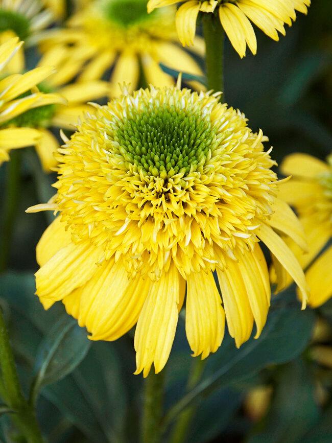 Echinacea Sunny Days Lemon