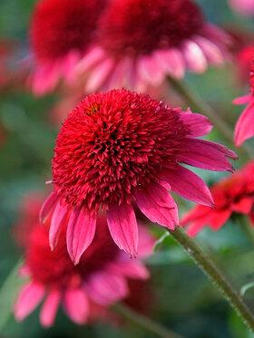 Photo of Echinacea Sunny Days Ruby
