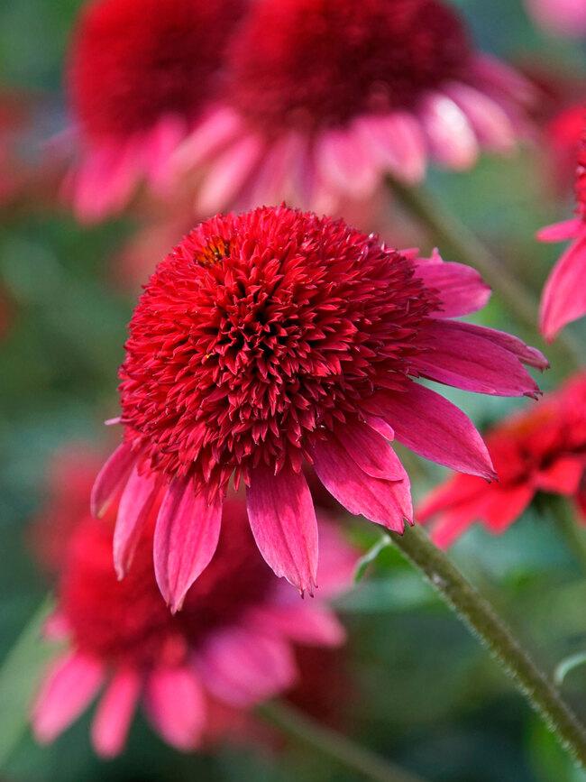 Echinacea Sunny Days Ruby