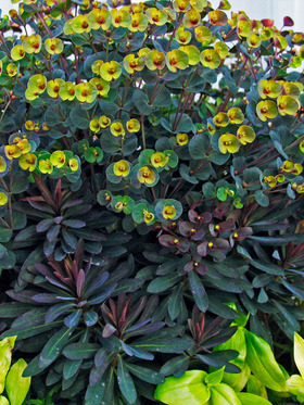 Dark evergreen foliage with bright yellow green bracts