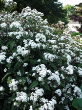 Eupatorium Chocolate