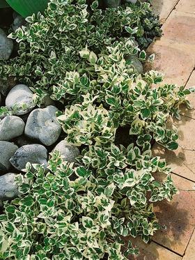 euonymus emerald gaiety bluestone perennials. Black Bedroom Furniture Sets. Home Design Ideas