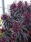 Euphorbia Walberton's Ruby Glow