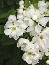 Exochorda Snow Day Blizzard