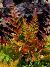 Fern Autumn Fern Brilliance