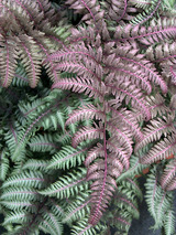 Fern Japanese Painted Fern Burgundy Lace