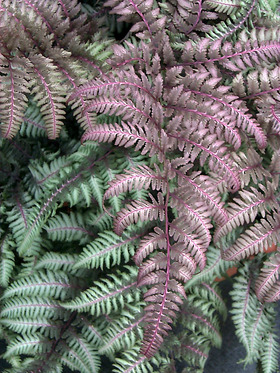 Another great selection, fronds of purple frosted in silver.