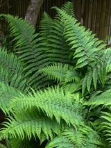 Fern Robust Male