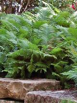 Fern Ostrich Fern The King