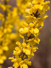 Forsythia Show Off Series