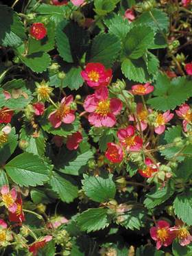 Ornamental strawberry - deep rose-red flowers on tidy foliage.