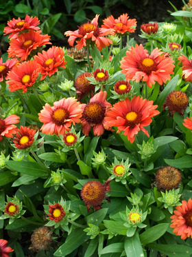 "Another great ""blanket"" flower with deep red blossoms."