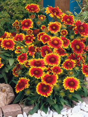 Fiery orange-red flowers tipped with yellow