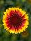 Gaillardia Barbican Yellow Red Ring