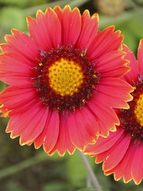 BLANKET FLOWER. Wine red.