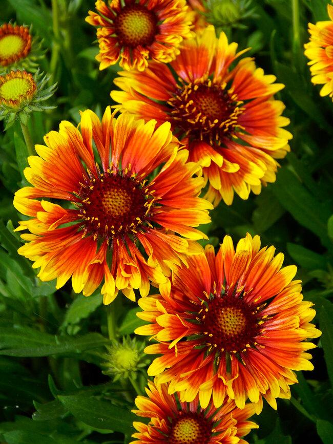 Gaillardia Copper Sun