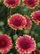Gaillardia Sunset Popsy