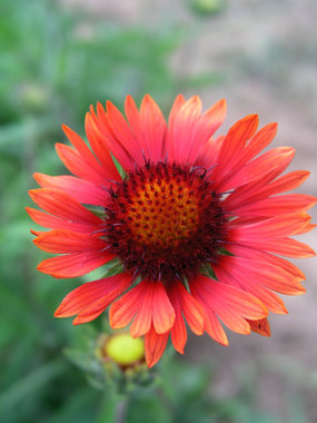 Marmalade-orange-brown daisies