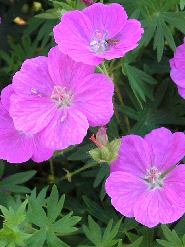 Geranium Alpenglow