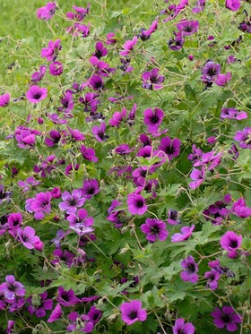 "Symmetrical dark rays extend from near black centers on 2"" magenta flowers."