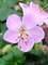Geranium Ingwersens-Variety