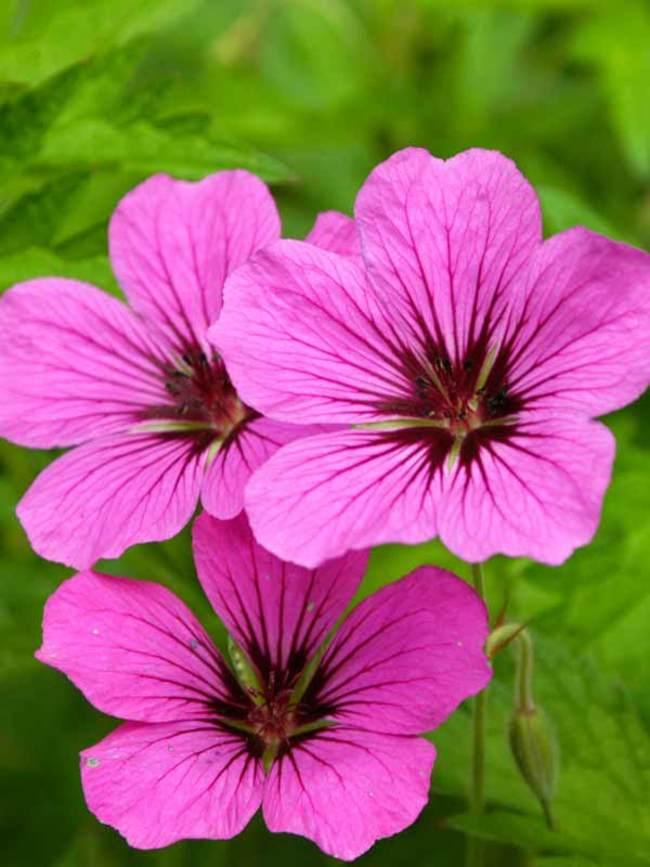 Geranium Patricia