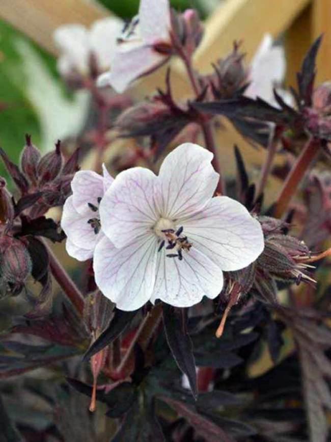 Geranium Purple Ghost