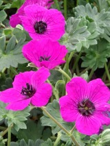 Geranium Purple Who