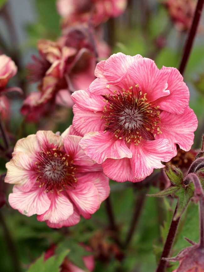 Geum Tempo Rose