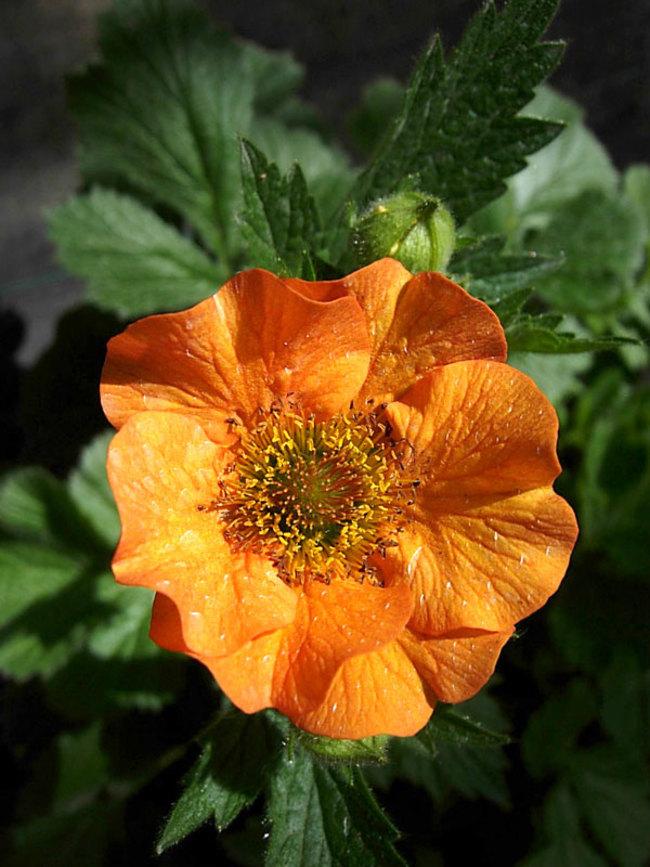 Geum Totally-Tangerine