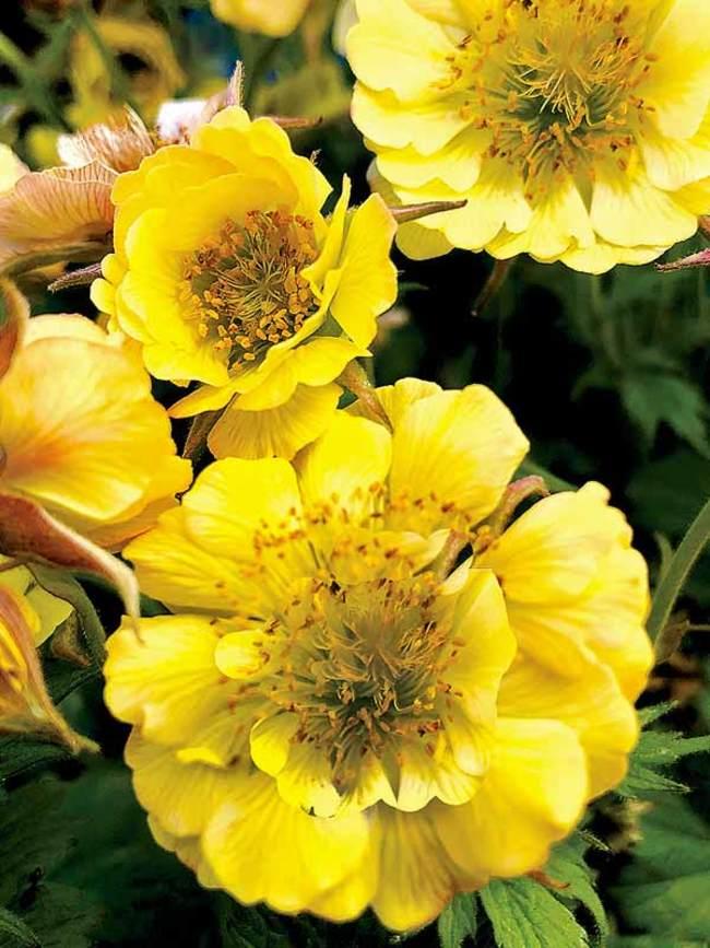 Geum Tempo Yellow