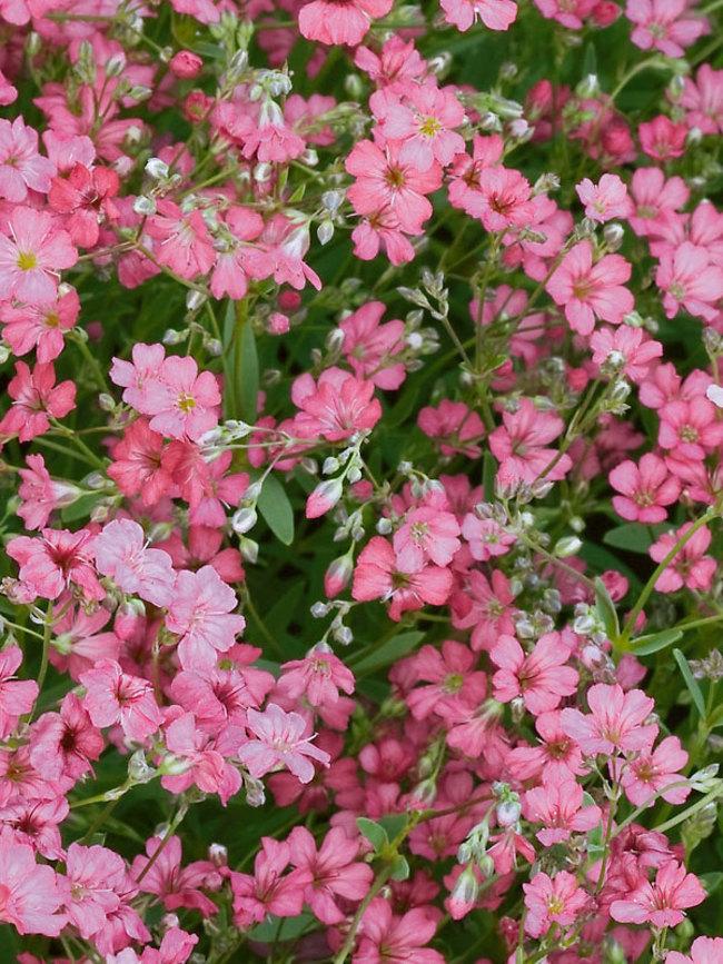 Gypsophila Filou-Rose