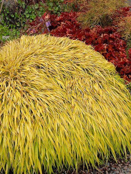 Product viewer hakonechloa all gold for Ornamental grass yellow