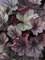 Heuchera Carnival Rose Granita