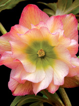 Helleborus Winter Jewels™ Amber Gem