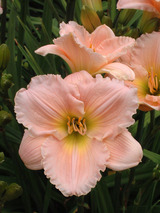Hemerocallis Barbara Mitchell
