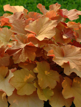 Very attractive foliage, a warm orange blush