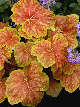 Brick red foliage scalloped with chartreuse green margins