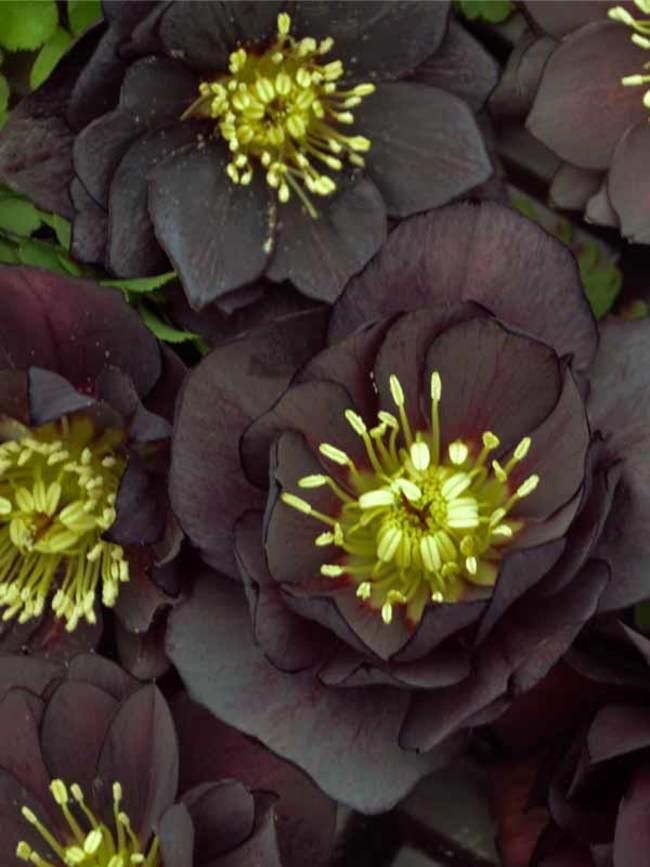 Helleborus Dark and Handsome