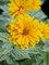 Heliopsis Double Sunstruck