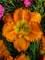Hemerocallis Earlybird Oriole