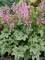 Heucherella Pink Fizz