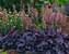 Heuchera Grape Expectations