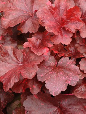 Bright red foliage emerges in spring maturing to warm red brown with pink speckles.