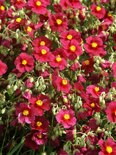 Helianthemum Hartswood Ruby