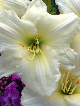 One of the most popular white hemerocallis.