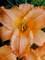 Hemerocallis New Tangerine Twist