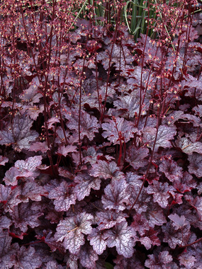 Stunning foliage in deep plum purple